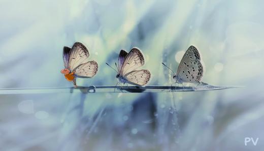 iz-farfalla.jpg